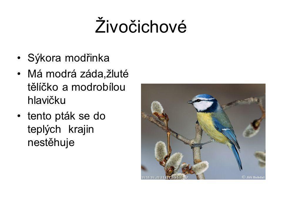 Živočichové •Sýkora modřinka •Má modrá záda,žluté tělíčko a modrobílou hlavičku •tento pták se do teplých krajin nestěhuje