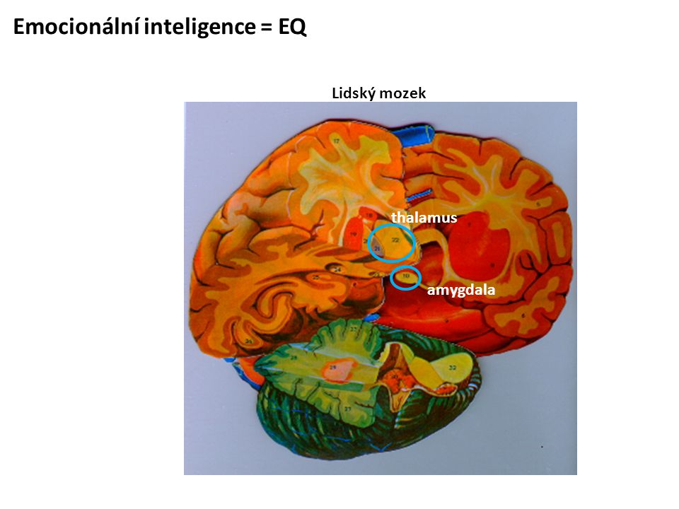 Emocionální inteligence = EQ Lidský mozek amygdala thalamus