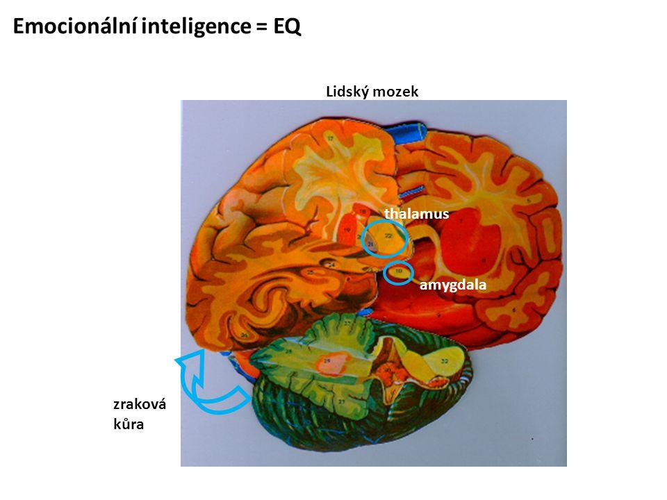 Emocionální inteligence = EQ Lidský mozek amygdala thalamus zraková kůra