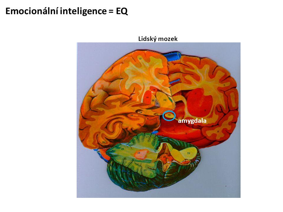 Emocionální inteligence = EQ Lidský mozek amygdala