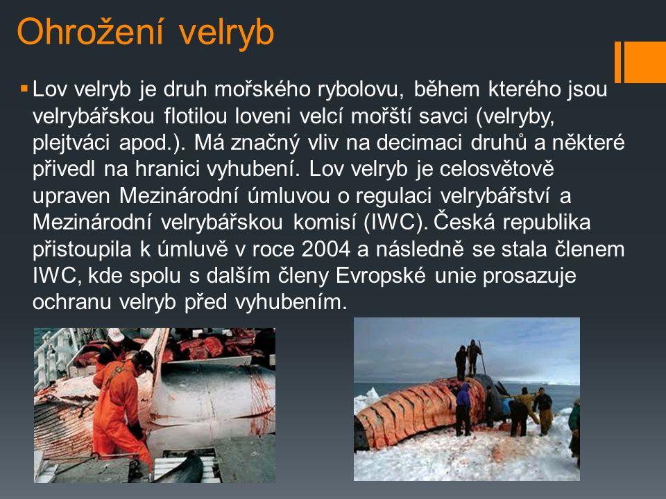 Výskyt velryb  Je typickým obyvatelem studených arktických vod západní a východní polokoule. Lze se s ní setkat všude tam, kde nejsou souvislá pásma