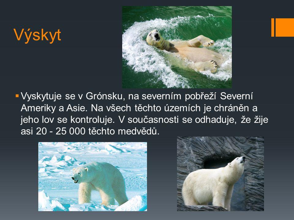 Lední medvěd  Medvěd lední: označovaný též jako polární medvěd, je velký druh medvěda typický pro severní polární oblasti.  V kohoutku měří 1,5 m a