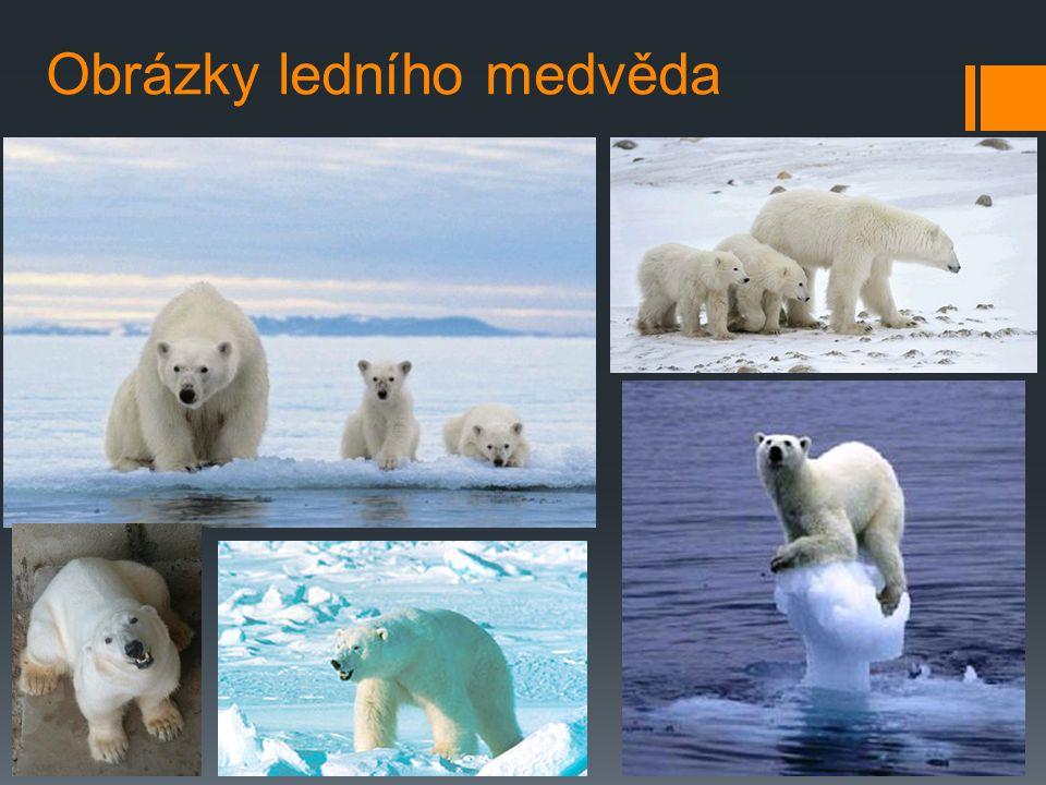 Lední medvěd v ohrožení  Americké ministerstvo vnitra prohlásilo ledního medvěda za ohrožený druh. Zvířata si podle ministerstva zaslouží lepší ochra