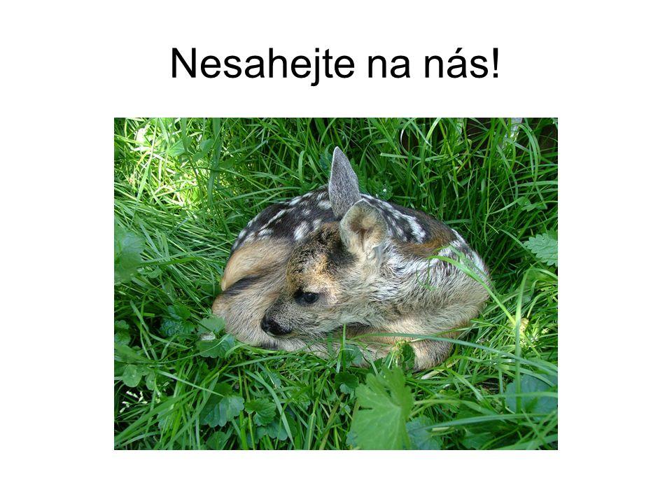 Veverky •Esbilac – do 5ti týdnů věku •Vital milk (Royal Canin) •Tatra light 4% •Instantní kaše •Každé 2 hodiny, od 2 týdnů 3 až 5 hodin (postupně) •Ovoce od 7 týdnů (víno, banán, jablko)