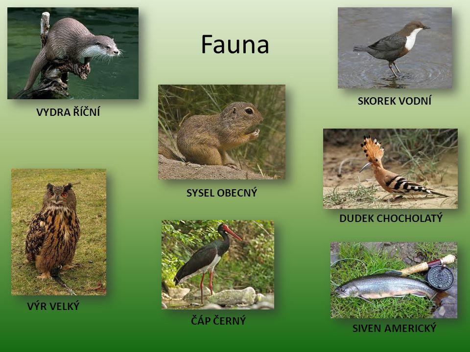 Fauna SIVEN AMERICKÝ DUDEK CHOCHOLATÝ SKOREK VODNÍ ČÁP ČERNÝ SYSEL OBECNÝ VYDRA ŘÍČNÍ VÝR VELKÝ