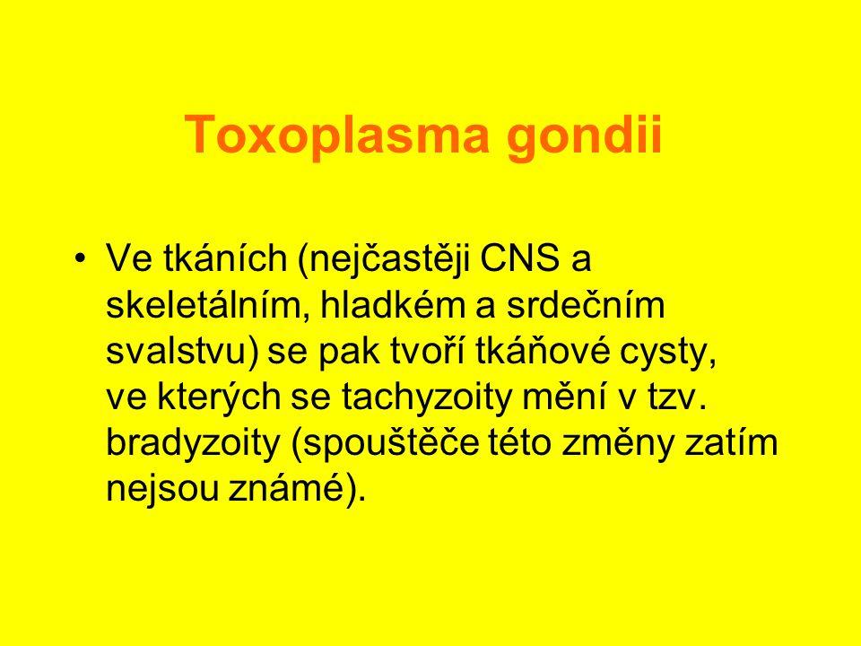 Toxoplasma gondii •Ve tkáních (nejčastěji CNS a skeletálním, hladkém a srdečním svalstvu) se pak tvoří tkáňové cysty, ve kterých se tachyzoity mění v