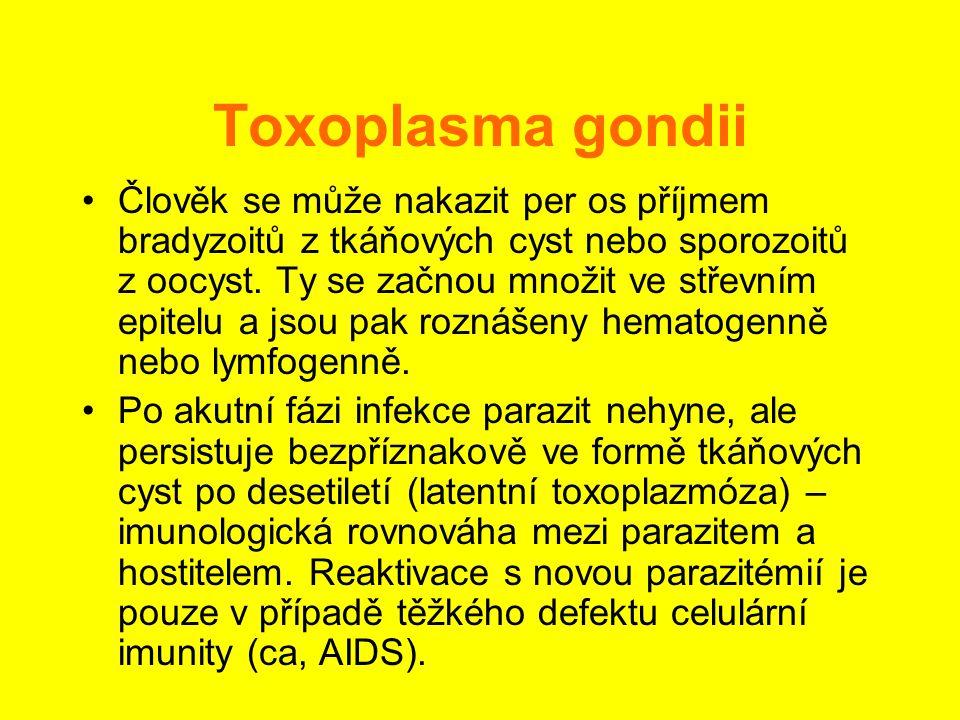 Toxoplasma gondii •Člověk se může nakazit per os příjmem bradyzoitů z tkáňových cyst nebo sporozoitů z oocyst. Ty se začnou množit ve střevním epitelu