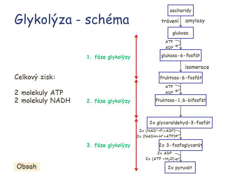 Glykolýza - schéma 1. fáze glykolýzy 2. fáze glykolýzy 3. fáze glykolýzy trávení amylasy 2x ADP isomerace sacharidy glukosa glukosa-6-fosfát fruktosa-