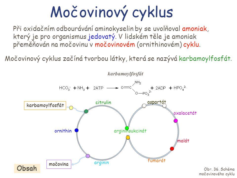Močovinový cyklus citrulin arginin argininsukcinát fumarát malát oxalacetát aspartát ornithin karbamoylfosfát močovina Při oxidačním odbourávání amino