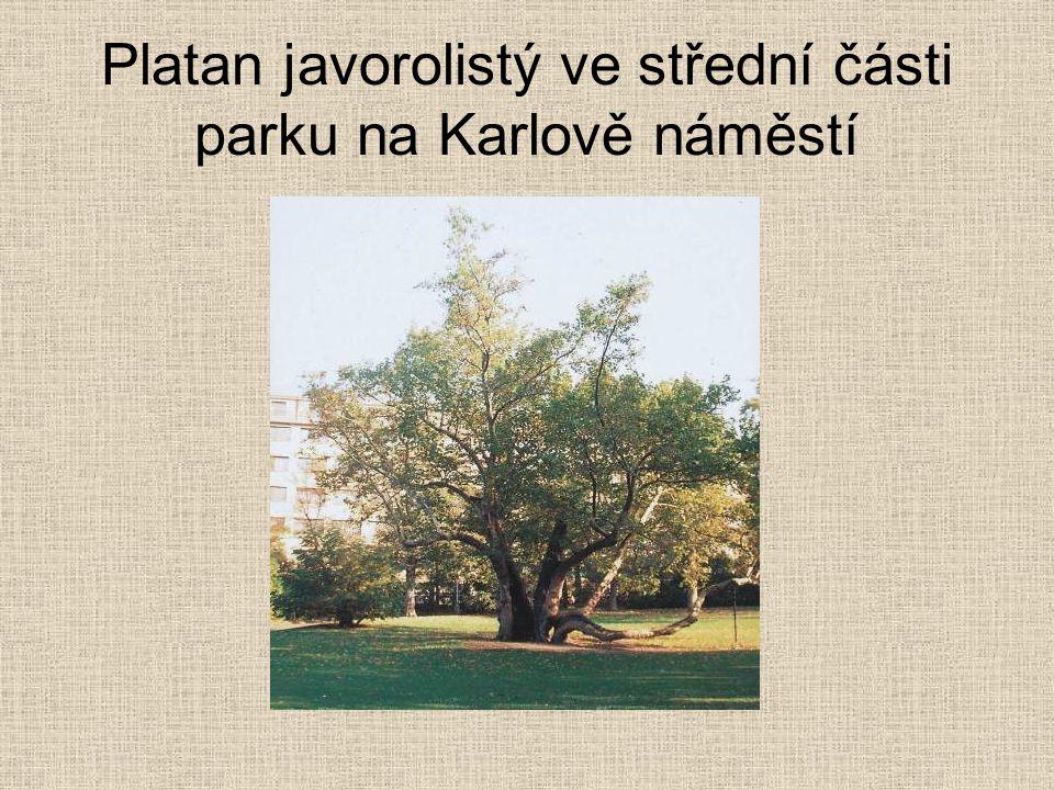 Platan javorolistý ve střední části parku na Karlově náměstí