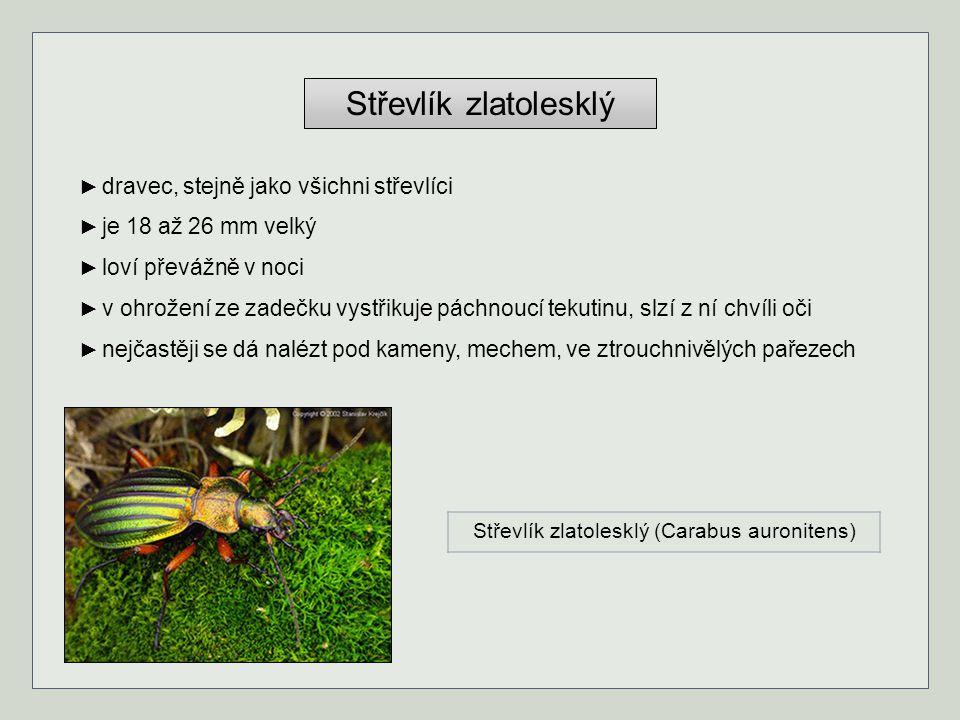 Střevlík zlatolesklý ► dravec, stejně jako všichni střevlíci ► je 18 až 26 mm velký ► loví převážně v noci ► v ohrožení ze zadečku vystřikuje páchnouc