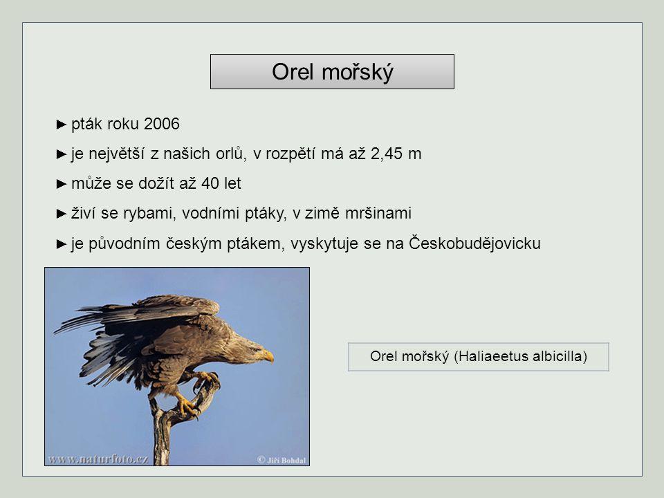 Orel mořský ► pták roku 2006 ► je největší z našich orlů, v rozpětí má až 2,45 m ► může se dožít až 40 let ► živí se rybami, vodními ptáky, v zimě mrš