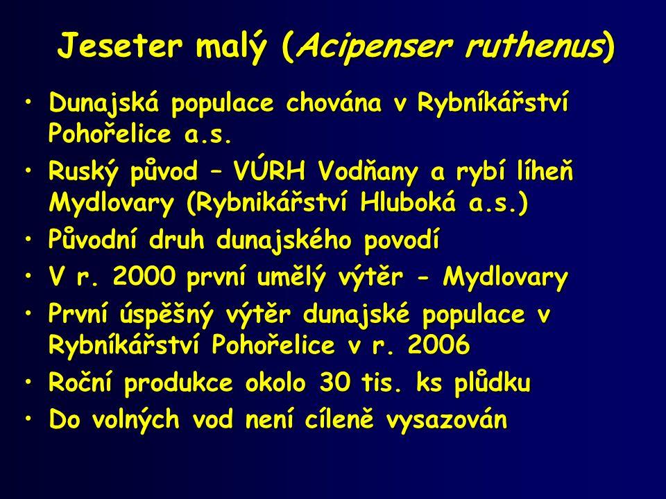 Jeseter malý (Acipenser ruthenus) •Dunajská populace chována v Rybníkářství Pohořelice a.s. •Ruský původ – VÚRH Vodňany a rybí líheň Mydlovary (Rybnik