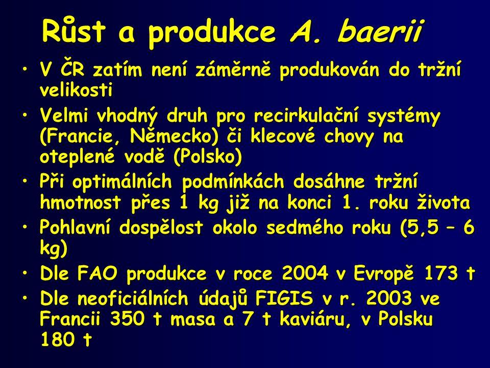 Růst a produkce A. baerii •V ČR zatím není záměrně produkován do tržní velikosti •Velmi vhodný druh pro recirkulační systémy (Francie, Německo) či kle