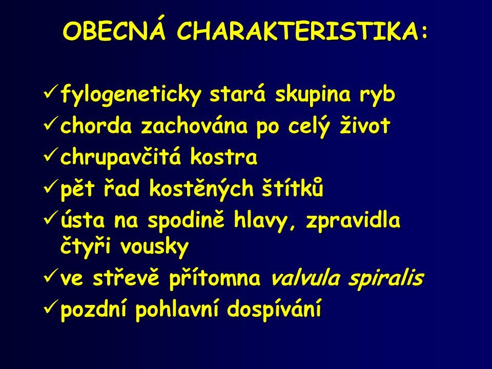Vyza velká (Huso huso) •Jedna z největších sladkovodních ryb vůbec (6 m TL, hmotnost 2 t a víc) •Ohrožený druh •V minulosti se vytírala i v Dunaji, diadromní •Lov v Kaspickém moři kvotován (pytlactví!) – zachranné programy, vysazování (2003 – 14 mil.