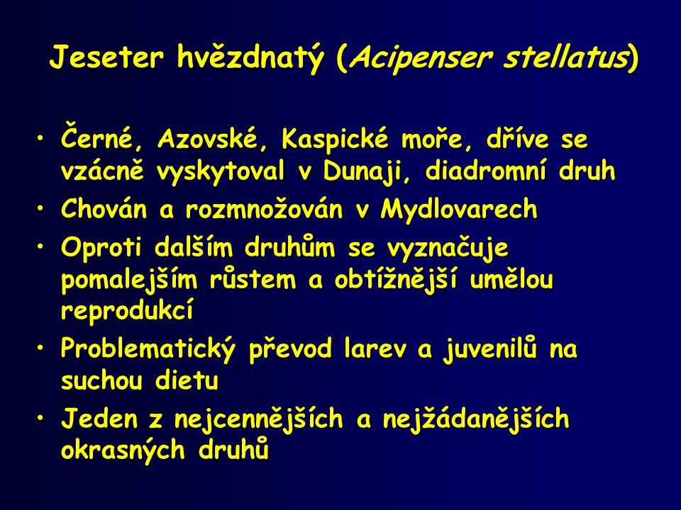 Jeseter hvězdnatý (Acipenser stellatus) •Černé, Azovské, Kaspické moře, dříve se vzácně vyskytoval v Dunaji, diadromní druh •Chován a rozmnožován v My