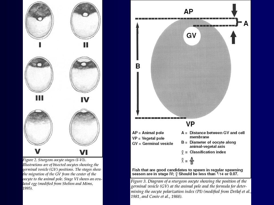 Veslonos americký (Polyodon spathula) •Charakteristické oválné rostrum tvaru vesla (pádla), které činí až 30% TL •Sladkovodní druh původní v povodí Mississippy •Dosahuje až 2 m TL a hmotnosti přes 70 kg •Velmi perspektivní pro akvakulturu (rybniční i technickou) •Planktonofág, efektivitou filtrace předčí i Aristichthys nobilis •V dobrých potravních podmínkách ve věku 1+ dosahuje až 2 kg •Remontní hejno chováno v Mydlovarech •Vysoce ceněná svalovina i kaviár