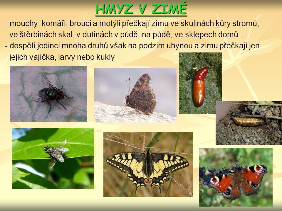 HMYZ V ZIMĚ - mouchy, komáři, brouci a motýli přečkají zimu ve skulinách kůry stromů, ve štěrbinách skal, v dutinách v půdě, na půdě, ve sklepech domů … - dospělí jedinci mnoha druhů však na podzim uhynou a zimu přečkají jen jejich vajíčka, larvy nebo kukly