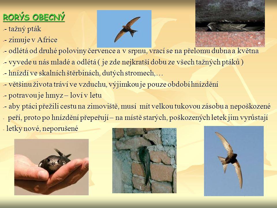 RORÝS OBECNÝ - - tažný pták - - zimuje v Africe - - odlétá od druhé poloviny července a v srpnu, vrací se na přelomu dubna a května - - vyvede u nás mladé a odlétá ( je zde nejkratší dobu ze všech tažných ptáků ) - - hnízdí ve skalních štěrbinách, dutých stromech,… - - většinu života tráví ve vzduchu, výjimkou je pouze období hnízdění - - potravou je hmyz – loví v letu - - aby ptáci přežili cestu na zimoviště, musí mít velkou tukovou zásobu a nepoškozené - peří, proto po hnízdění přepeřují – na místě starých, poškozených letek jim vyrůstají - letky nové, neporušené
