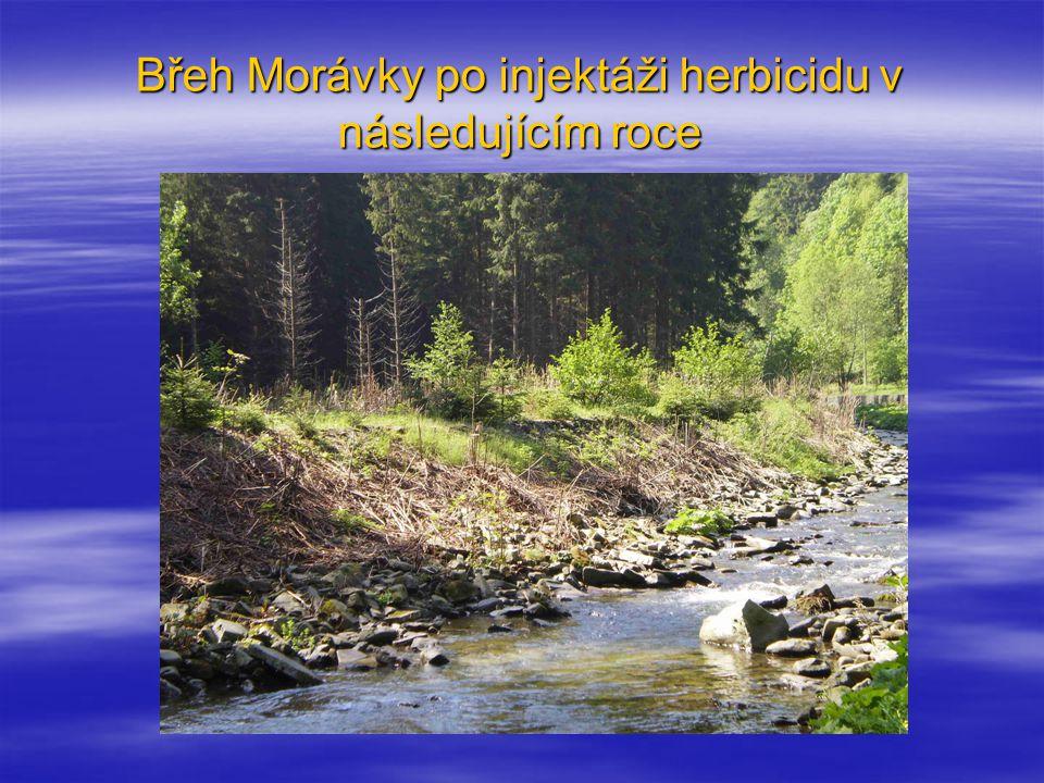 Břeh Morávky po injektáži herbicidu v následujícím roce