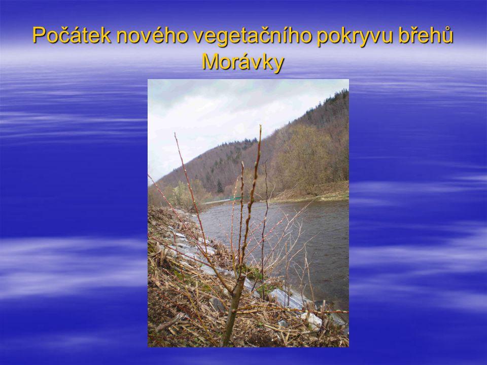 Počátek nového vegetačního pokryvu břehů Morávky