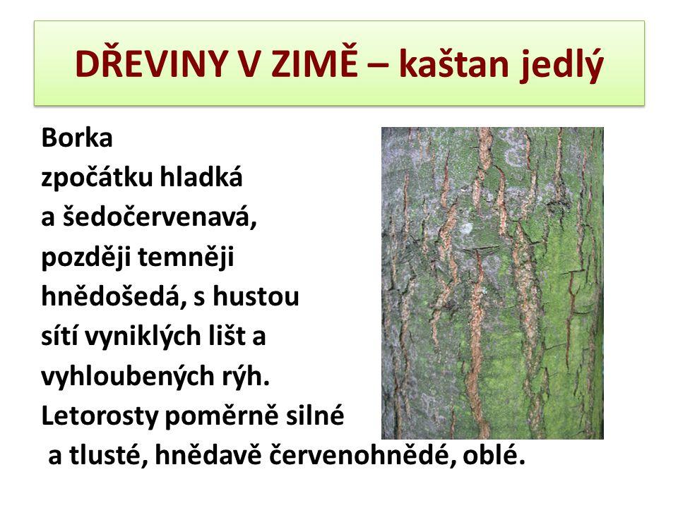 DŘEVINY V ZIMĚ – kaštan jedlý Borka zpočátku hladká a šedočervenavá, později temněji hnědošedá, s hustou sítí vyniklých lišt a vyhloubených rýh. Letor