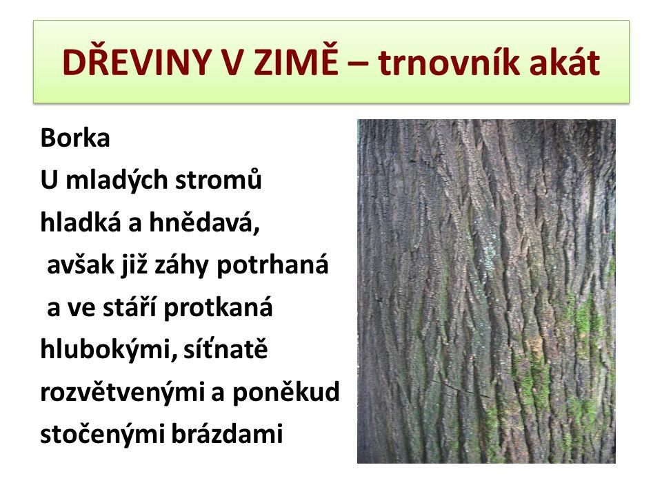 DŘEVINY V ZIMĚ – trnovník akát Borka U mladých stromů hladká a hnědavá, avšak již záhy potrhaná a ve stáří protkaná hlubokými, síťnatě rozvětvenými a