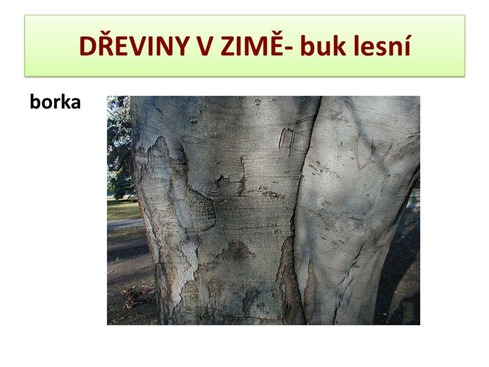 DŘEVINY V ZIMĚ- buk lesní borka