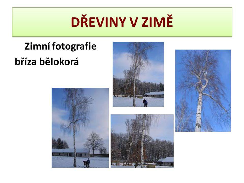 DŘEVINY V ZIMĚ – trnovník akát Borka U mladých stromů hladká a hnědavá, avšak již záhy potrhaná a ve stáří protkaná hlubokými, síťnatě rozvětvenými a poněkud stočenými brázdami