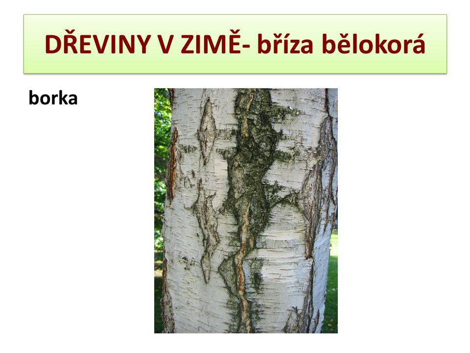 DŘEVINY V ZIMĚ- buk lesní  Borka: hladká, světle olovnatě šedá, u starších jedinců poněkud zdrsnělá, ale nikdy potrhaná nebo hrubě šupinatá, nanejvýš trochu zvlněná.