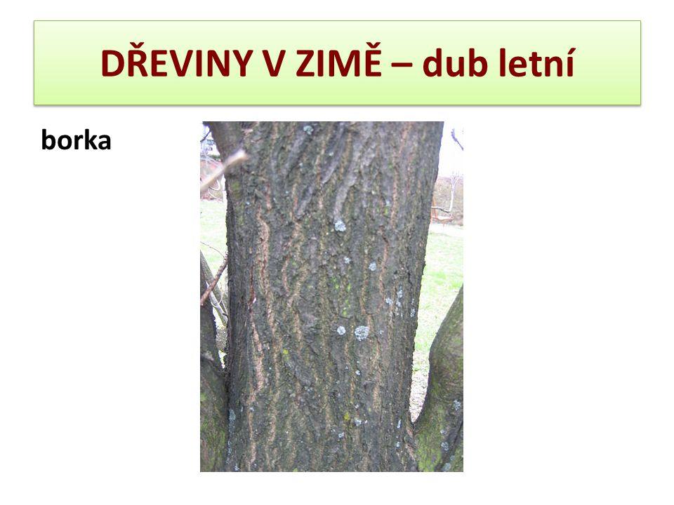 DŘEVINY V ZIMĚ – dub letní borka