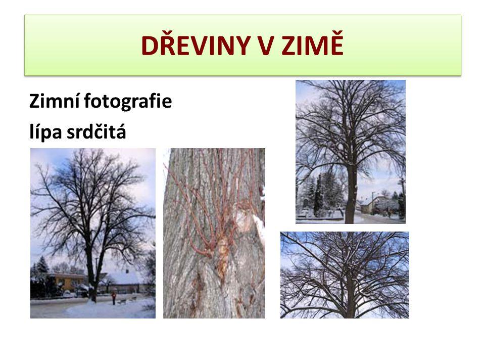 DŘEVINY V ZIMĚ – lípa srdčitá Borka: U mladých exemplářů nápadně hladká a šedá, u starších stromů spíše hnědošedá a členěná v různé ploché, podélně probíhající lišty a rýhy.