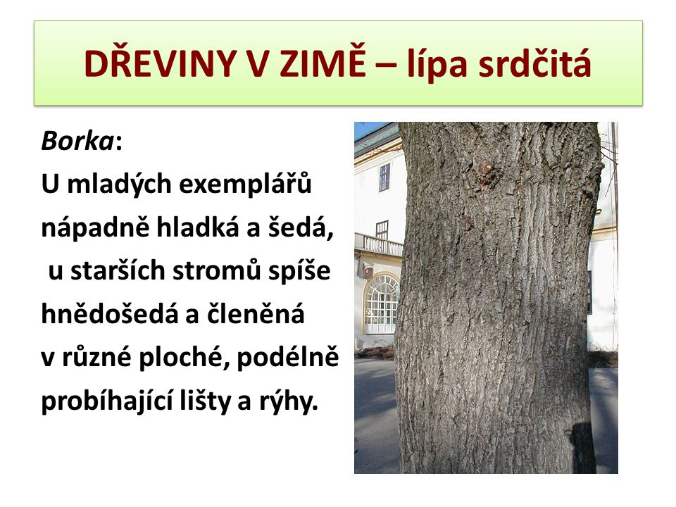 DŘEVINY V ZIMĚ – lípa srdčitá Borka: U mladých exemplářů nápadně hladká a šedá, u starších stromů spíše hnědošedá a členěná v různé ploché, podélně pr