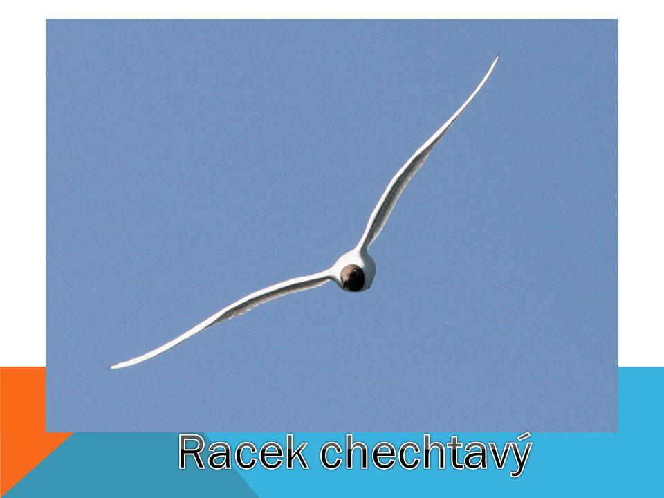  Racek chechtavý patří se svým rozpětím křídel kolem 100 cm mezi malé druhy racků.