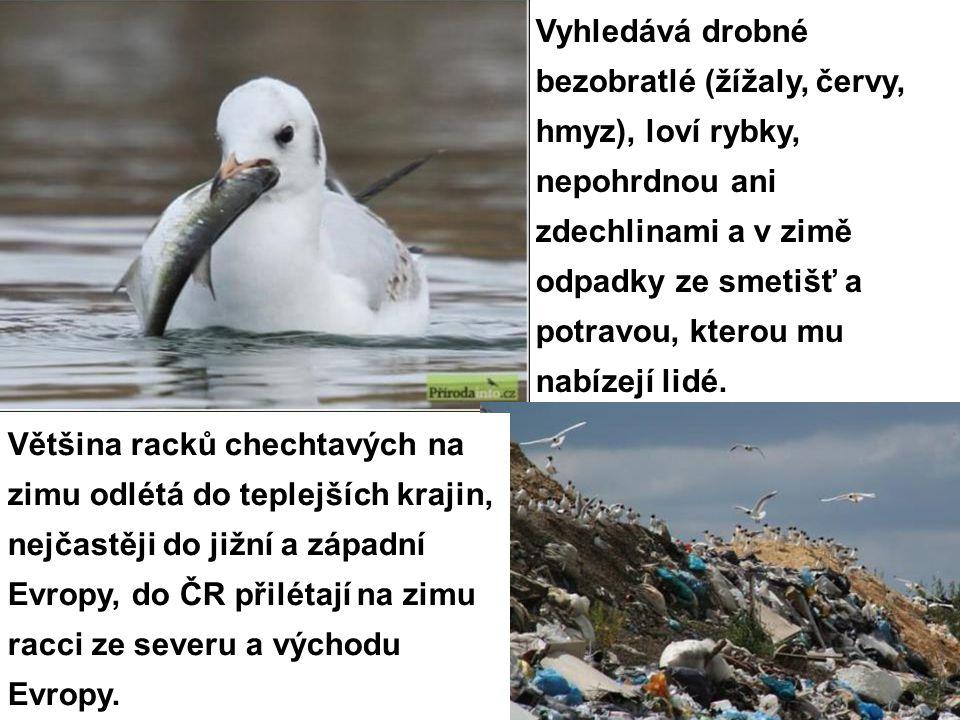 Vyhledává drobné bezobratlé (žížaly, červy, hmyz), loví rybky, nepohrdnou ani zdechlinami a v zimě odpadky ze smetišť a potravou, kterou mu nabízejí lidé.