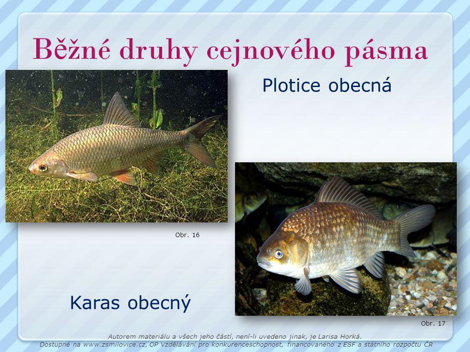 B ě žné druhy cejnového pásma Plotice obecná Karas obecný Obr.