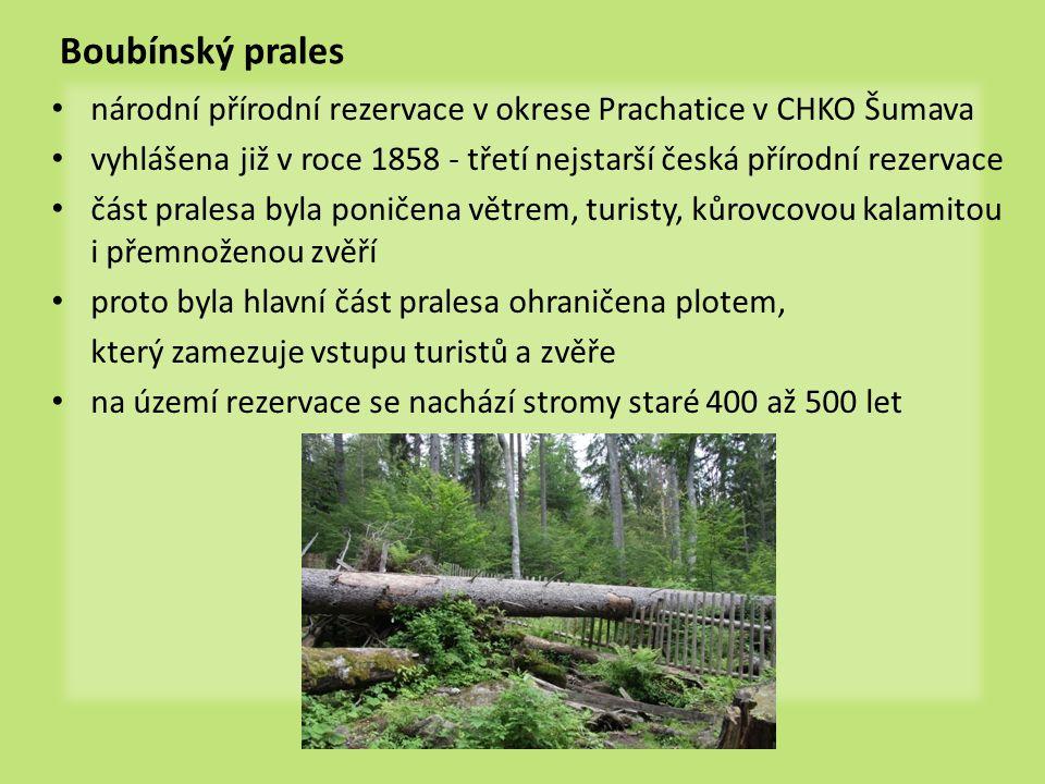 Boubínský prales • národní přírodní rezervace v okrese Prachatice v CHKO Šumava • vyhlášena již v roce 1858 - třetí nejstarší česká přírodní rezervace • část pralesa byla poničena větrem, turisty, kůrovcovou kalamitou i přemnoženou zvěří • proto byla hlavní část pralesa ohraničena plotem, který zamezuje vstupu turistů a zvěře • na území rezervace se nachází stromy staré 400 až 500 let