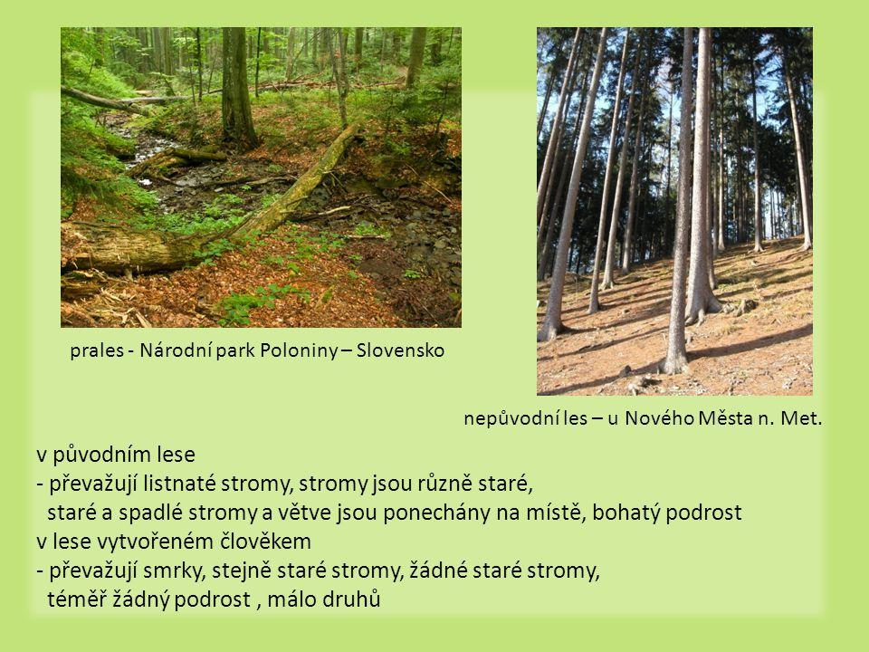 prales - Národní park Poloniny – Slovensko nepůvodní les – u Nového Města n. Met. v původním lese - převažují listnaté stromy, stromy jsou různě staré