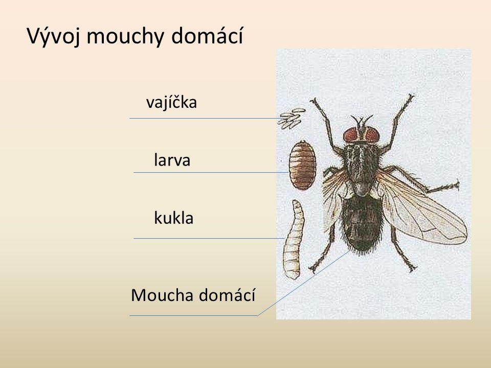 Vývoj mouchy domácí vajíčka larva kukla Moucha domácí