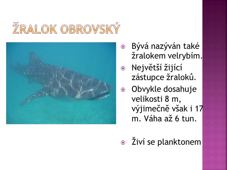  Bývá nazýván také žralokem velrybím.  Největší žijící zástupce žraloků.  Obvykle dosahuje velikosti 8 m, výjimečně však i 17 m. Váha až 6 tun.  Ž