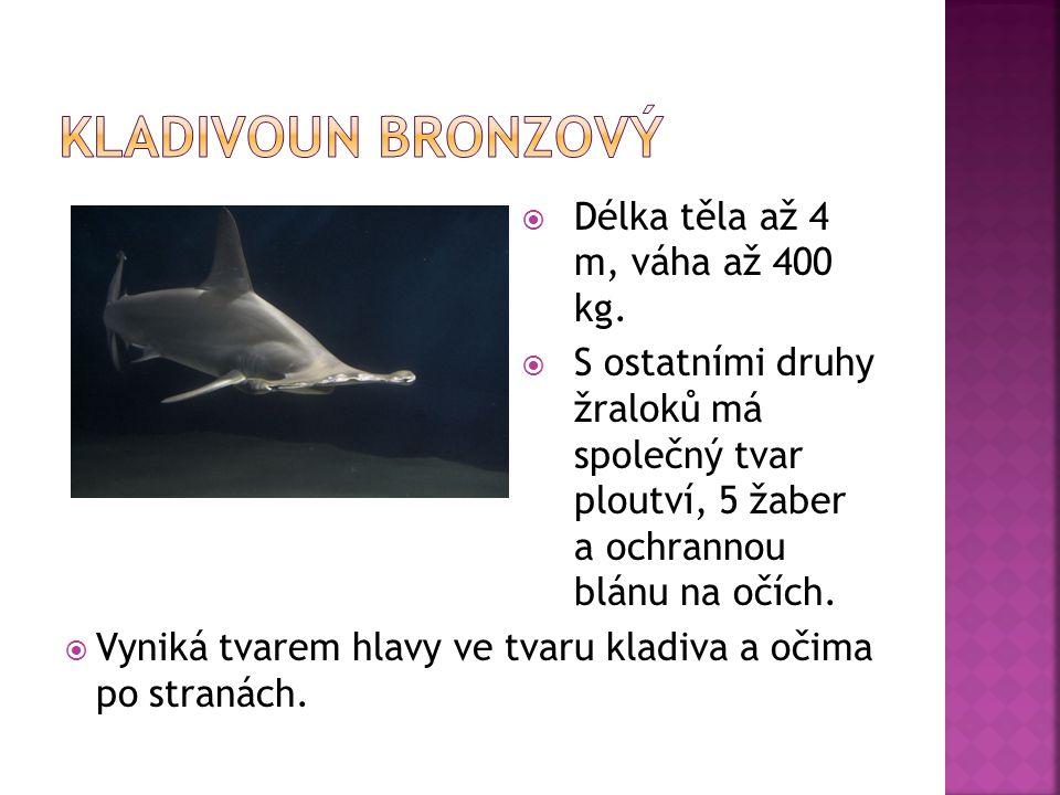  Délka těla až 4 m, váha až 400 kg.  S ostatními druhy žraloků má společný tvar ploutví, 5 žaber a ochrannou blánu na očích.  Vyniká tvarem hlavy v