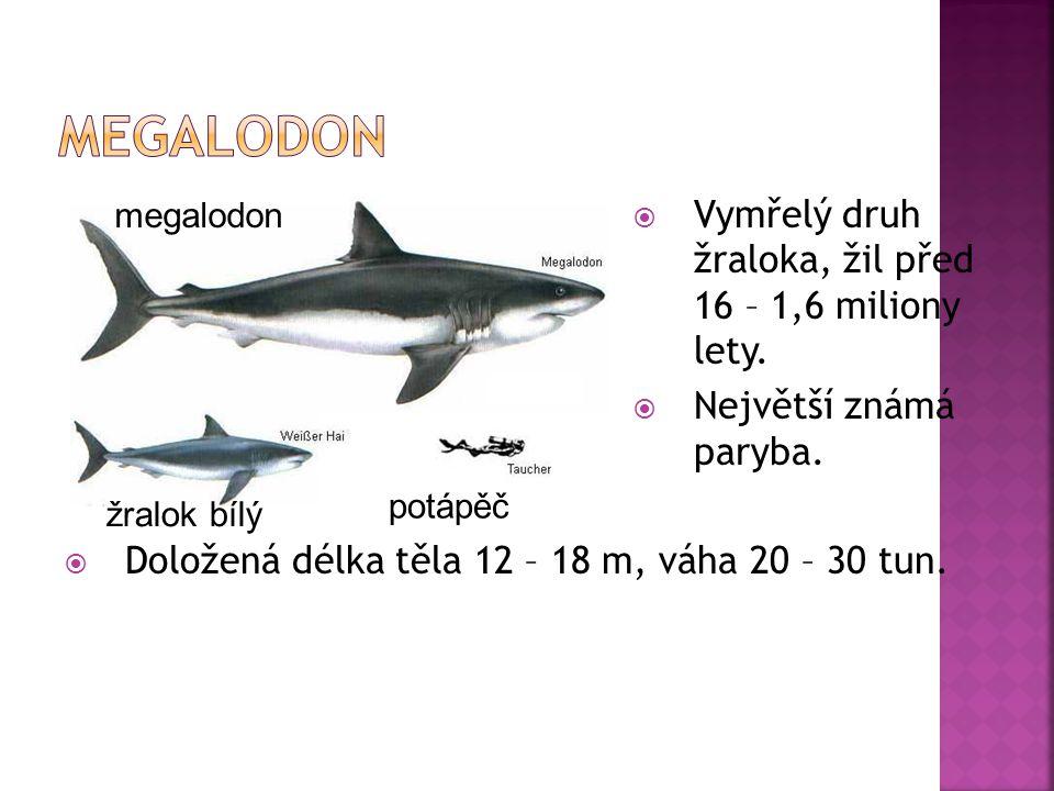  Vymřelý druh žraloka, žil před 16 – 1,6 miliony lety.  Největší známá paryba.  Doložená délka těla 12 – 18 m, váha 20 – 30 tun. megalodon žralok b