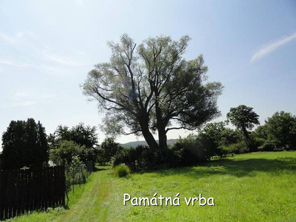 Památná KYLIÁNOVA VRBA, která se nachází na zahradě domu č. 21 na začátku ulice Pražská