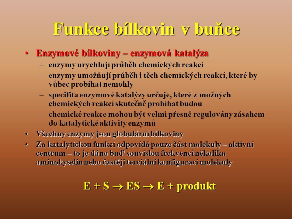 Funkce bílkovin v buňce •Enzymové bílkoviny – enzymová katalýza –enzymy urychlují průběh chemických reakcí –enzymy umožňují průběh i těch chemických reakcí, které by vůbec probíhat nemohly –specifita enzymové katalýzy určuje, které z možných chemických reakcí skutečně probíhat budou –chemické reakce mohou být velmi přesně regulovány zásahem do katalytické aktivity enzymů •Všechny enzymy jsou globulární bílkoviny •Za katalytickou funkci odpovídá pouze část molekuly – aktivní centrum – to je dáno buď souvislou frekvencí několika aminokyselin nebo častěji terciální konfigurací molekuly E + S  ES  E + produkt
