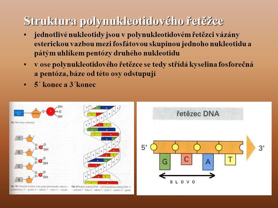 Struktura polynukleotidového řetěžce •jednotlivé nukleotidy jsou v polynukleotidovém řetězci vázány esterickou vazbou mezi fosfátovou skupinou jednoho nukleotidu a pátým uhlíkem pentózy druhého nukleotidu •v ose polynukleotidového řetězce se tedy střídá kyselina fosforečná a pentóza, báze od této osy odstupují •5´ konec a 3´konec