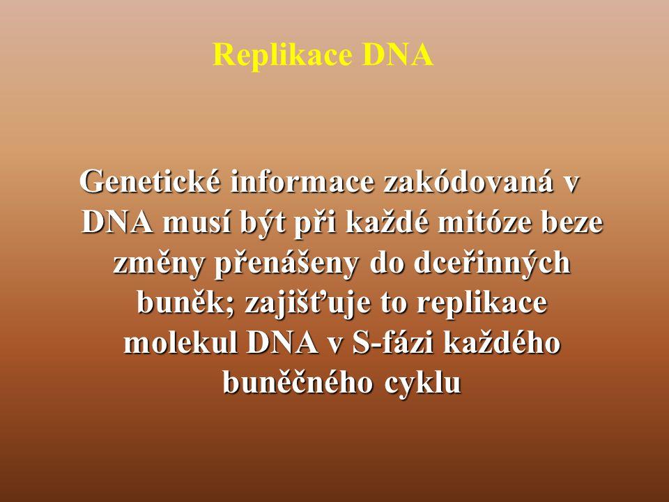 Replikace DNA Genetické informace zakódovaná v DNA musí být při každé mitóze beze změny přenášeny do dceřinných buněk; zajišťuje to replikace molekul DNA v S-fázi každého buněčného cyklu