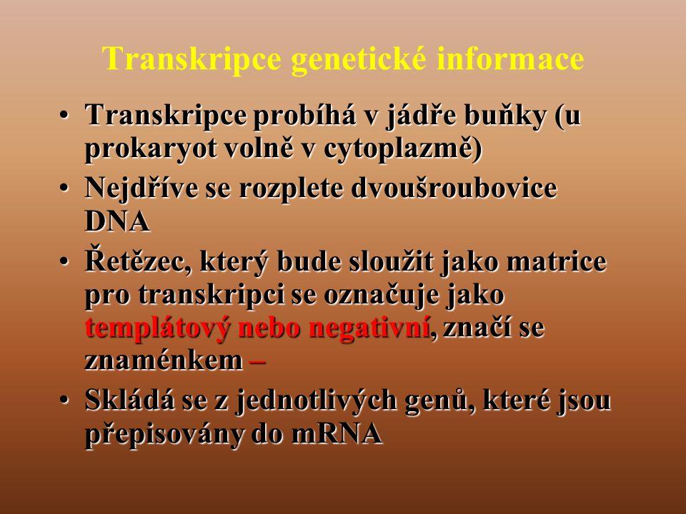 Transkripce genetické informace •Transkripce probíhá v jádře buňky (u prokaryot volně v cytoplazmě) •Nejdříve se rozplete dvoušroubovice DNA •Řetězec, který bude sloužit jako matrice pro transkripci se označuje jako templátový nebo negativní, značí se znaménkem – •Skládá se z jednotlivých genů, které jsou přepisovány do mRNA