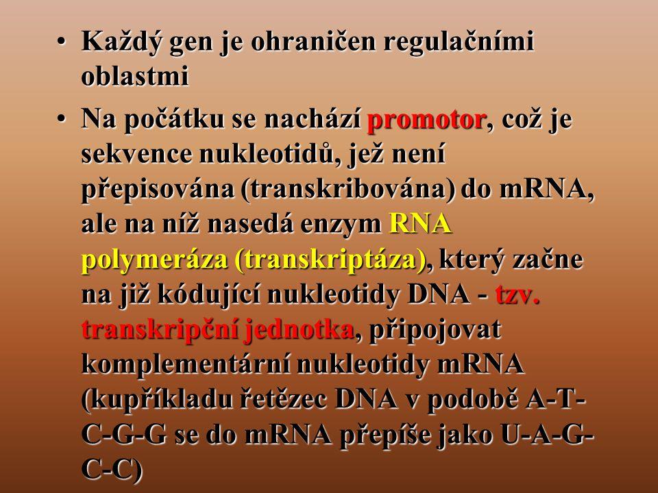 •Každý gen je ohraničen regulačními oblastmi •Na počátku se nachází promotor, což je sekvence nukleotidů, jež není přepisována (transkribována) do mRNA, ale na níž nasedá enzym RNA polymeráza (transkriptáza), který začne na již kódující nukleotidy DNA - tzv.
