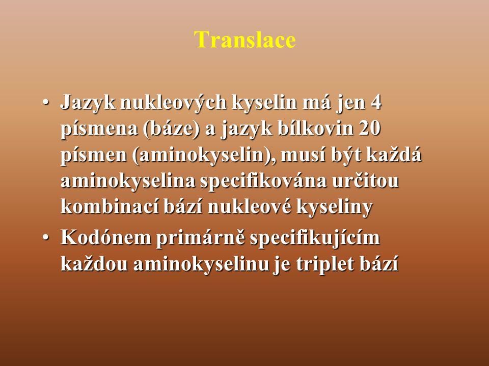 Translace •Jazyk nukleových kyselin má jen 4 písmena (báze) a jazyk bílkovin 20 písmen (aminokyselin), musí být každá aminokyselina specifikována určitou kombinací bází nukleové kyseliny •Kodónem primárně specifikujícím každou aminokyselinu je triplet bází