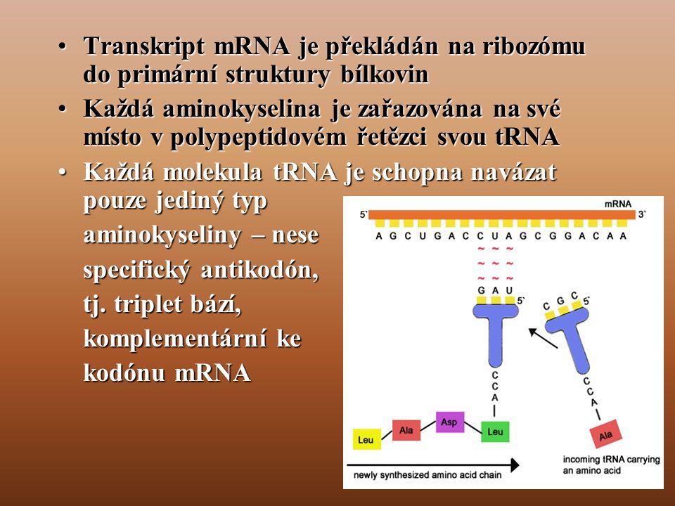 •Transkript mRNA je překládán na ribozómu do primární struktury bílkovin •Každá aminokyselina je zařazována na své místo v polypeptidovém řetězci svou tRNA •Každá molekula tRNA je schopna navázat pouze jediný typ aminokyseliny – nese specifický antikodón, tj.